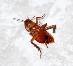 kakkerlakk