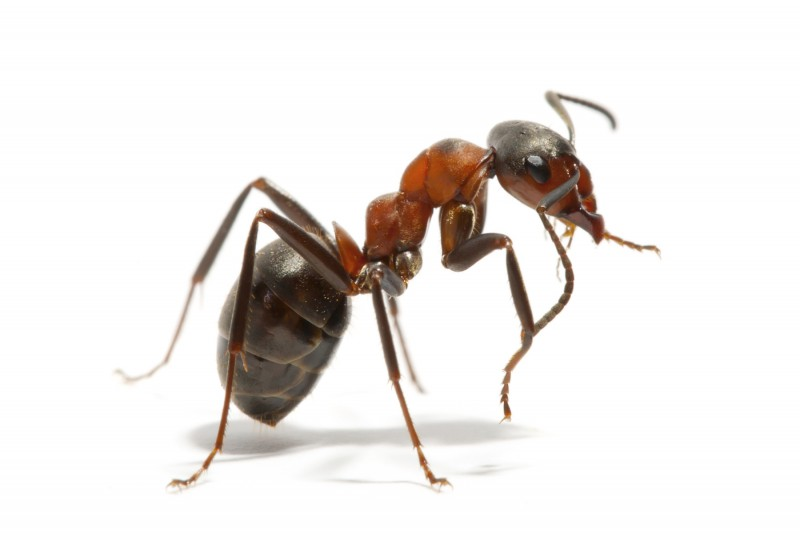 Forebygge maur